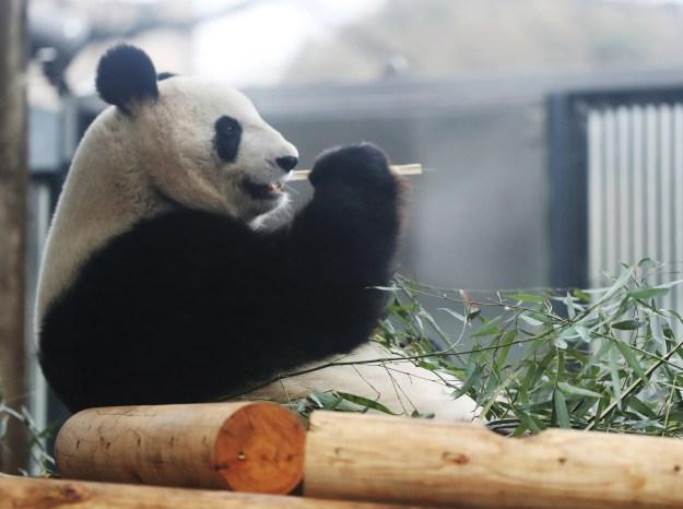 動物園のサイトによると、シンシンは「怖いもの知らず」な性格だそう。「はじめての物や人でもためらわずに近づいていきます」