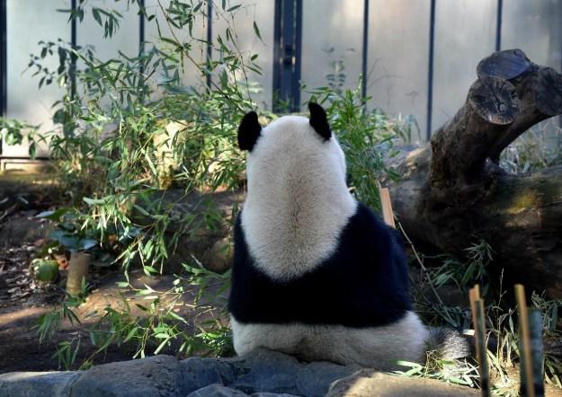 甘いものが嫌いですが、竹については「かなりのグルメ」。種類などによって食べる部分を変えるほどのこだわりがあるそうです。