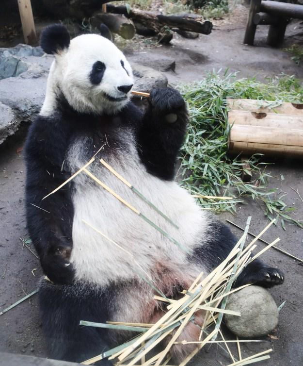上野動物園は5月18日、雌のジャイアントパンダ「シンシン」(11)に妊娠の兆候があると発表しました。パンダの妊娠はわかりづらいそうなのですが、本当に妊娠していたら、実に5年ぶりです。