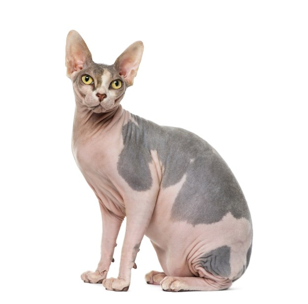 THIS, ladies and gentlemen, is a sphynx cat.