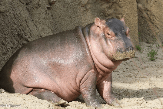 I'm talking of course about Fiona the Hippo, and as you can tell by the look on her face, she has the diva attitude on LOCK already.
