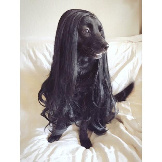 愛犬にウィッグを被せたら洋犬な雰囲気になった! こちらのワンちゃんがTwitter上で人気です。