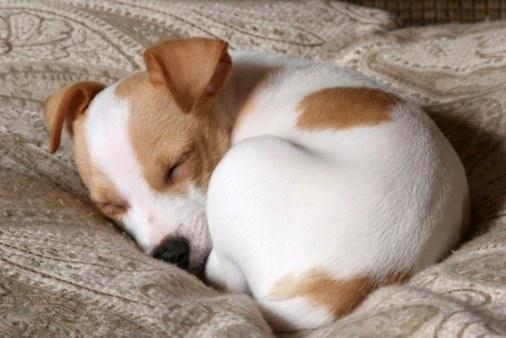 Клиника Маргарет Груэн говорит, что собака будет свернуться во сне, если им будет холодно, но это может иметь какое-то отношение к инстинкту. «Он также защищает их наиболее уязвимые органы в животе от потенциальных хищников», добавляет она. Это означает, что если ваша собака растянулась на вашем полу, они чувствуют себя супер горячими или супер безопасными.