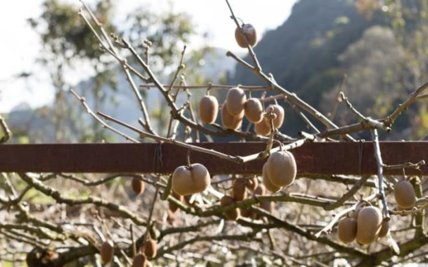 And kiwifruit grow on vines.