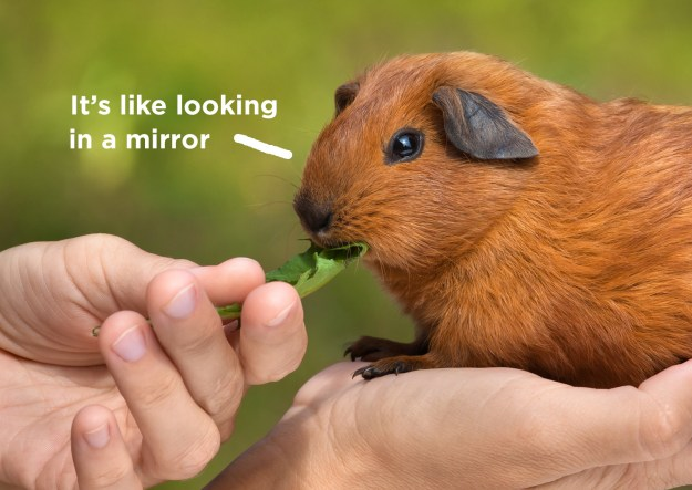 Perhaps they've even pointed out similarities between you and your guinea pig.