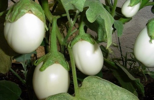 Did you know there's such thing as a white eggplant...and it looks JUST LIKE EGGS?