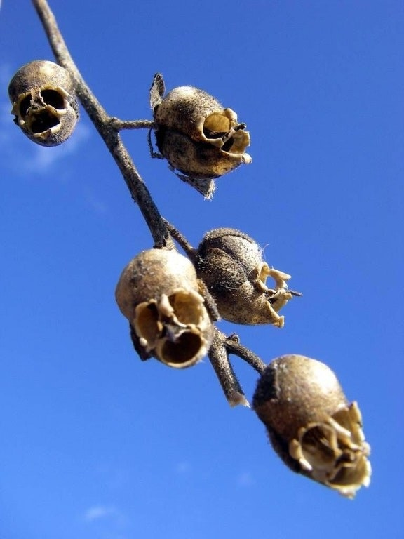 These snapdragons look like human skulls when they dry out: