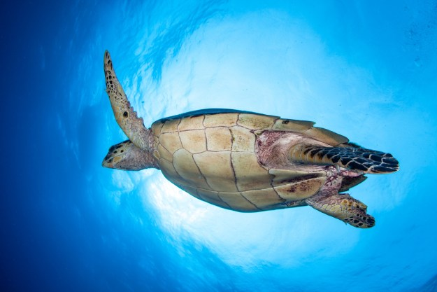 Some sea turtles can breathe underwater through their butt.