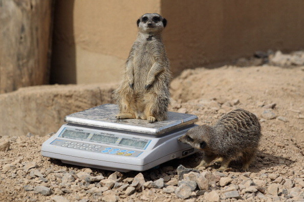 "Me: ""Don't move! Stay perfectly still!"" Meerkat: ""You got it, boss."""
