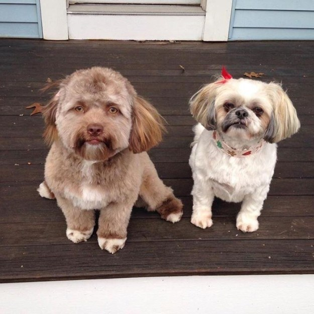 Still not convinced? Compare Yogi, on the left, to his sister Darla, an 8-year-worn Shih Tzu.