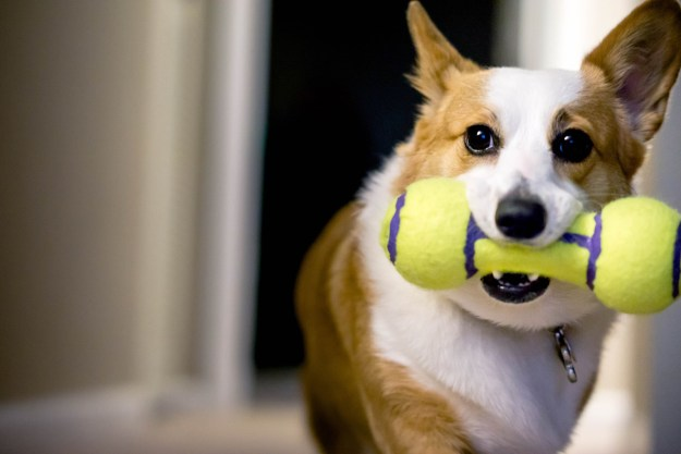 Speaking of disturbing pet facts, dogs like squeaky toys because they mimic the screams of their prey.