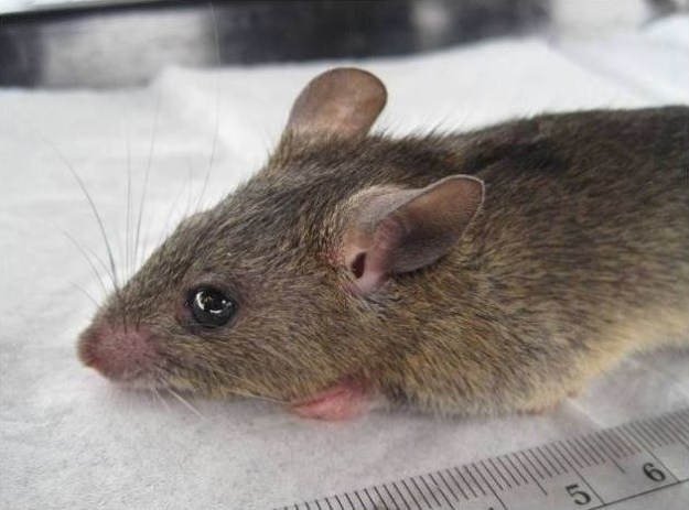 Lassa fever is normally spread to humans from rodents carrying the Lassa virus.