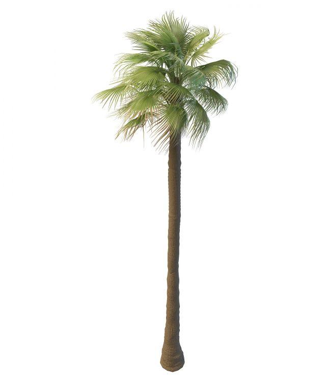 Tall Mexican fan palm tree 3d model 3ds max files free