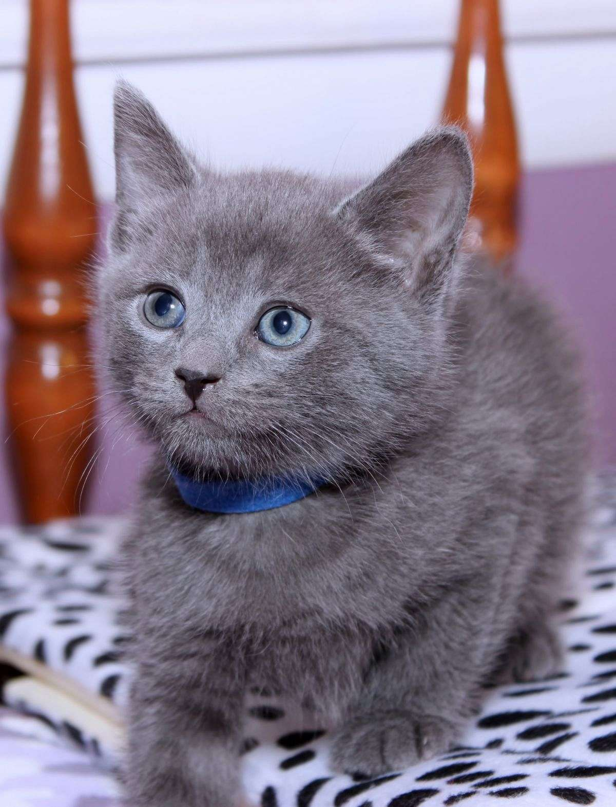 Purebred Russian Blue Kittens For Sale Near Me : purebred, russian, kittens, Russian, Purebred, Kittens, Online