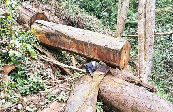 Gia Lai, forest violation cases, timber traders, Vietnam economy, Vietnamnet bridge, English news about Vietnam, Vietnam news, news about Vietnam, English news, Vietnamnet news, latest news on Vietnam, Vietnam