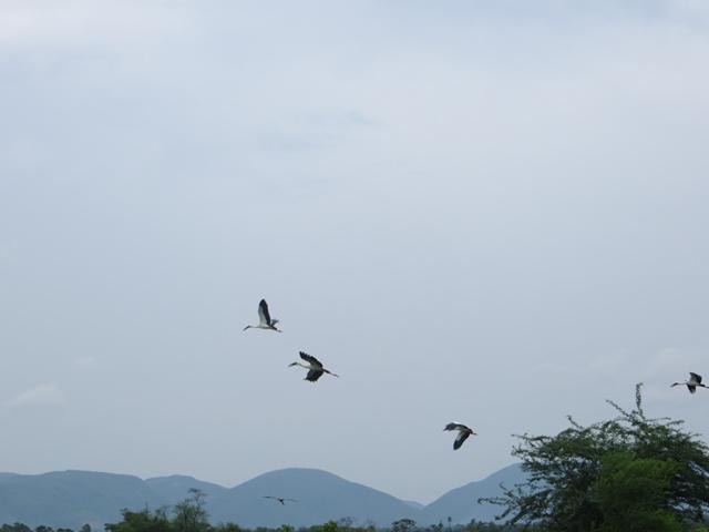 Open billed storks, flying away