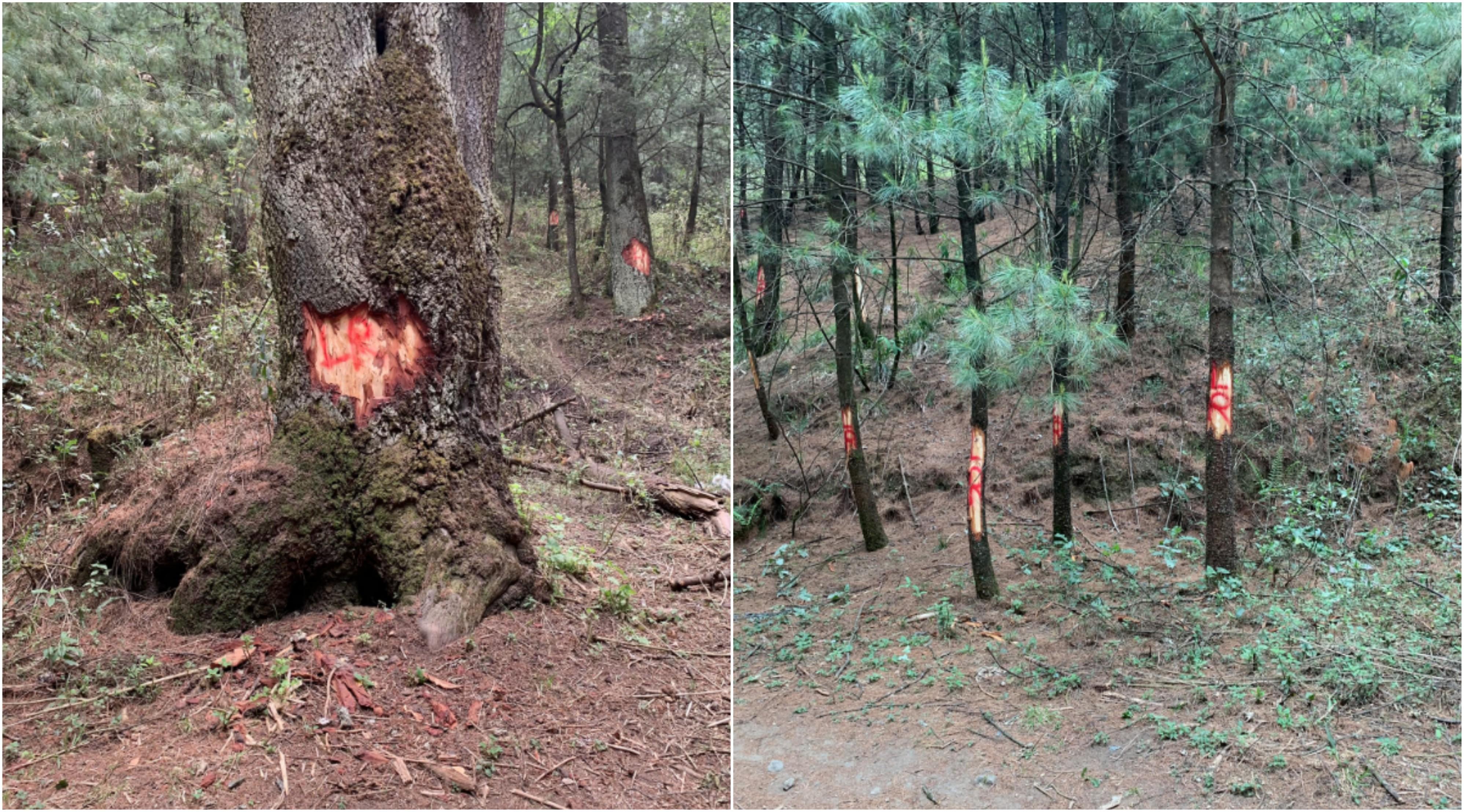 Denuncian tala irregular en el Desierto de los Leones  Chilango