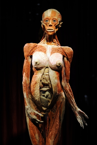 A pregnant woman, one of hagens' exhibitions of human cadavers.