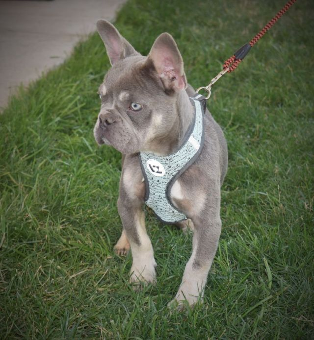 akc lilac and tan long hair carrier french bulldog male