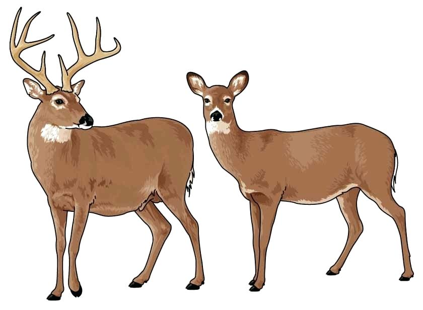 deer clipart look at