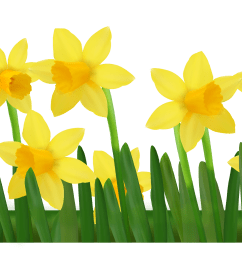 grass with daffodils png clipart picture [ 4200 x 1283 Pixel ]