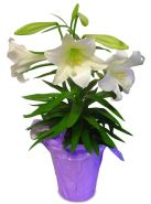 15+ Potted Easter Lili... Easter Lily Clipart | ClipartLook