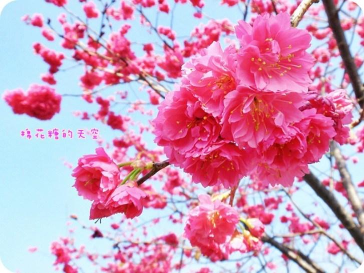 83d2e96f1ef10c8187238001866eeb29 - 台中泰安派出所櫻花季2019更新~快趁228連假來台中賞櫻花!
