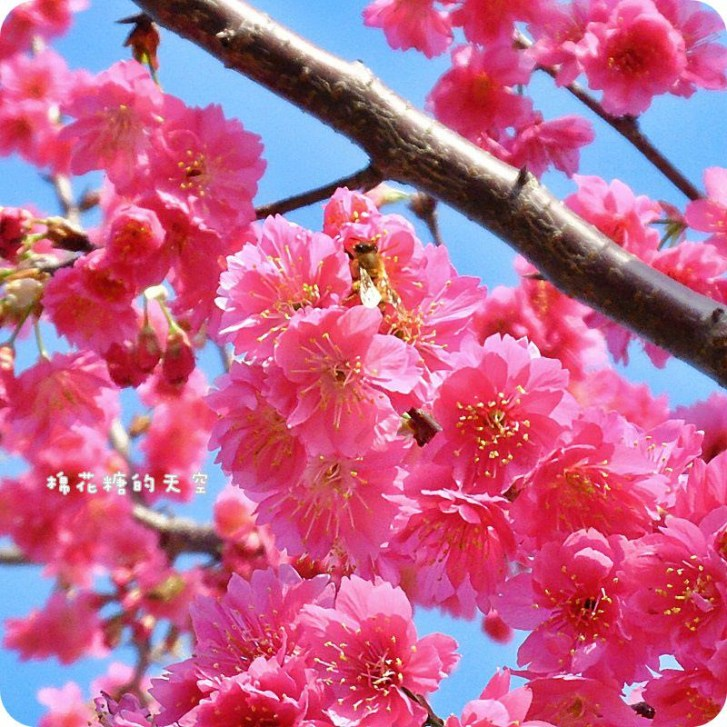 9df6cf97c4caba503180209b583b531c - 台中泰安派出所櫻花季2019更新~快趁228連假來台中賞櫻花!