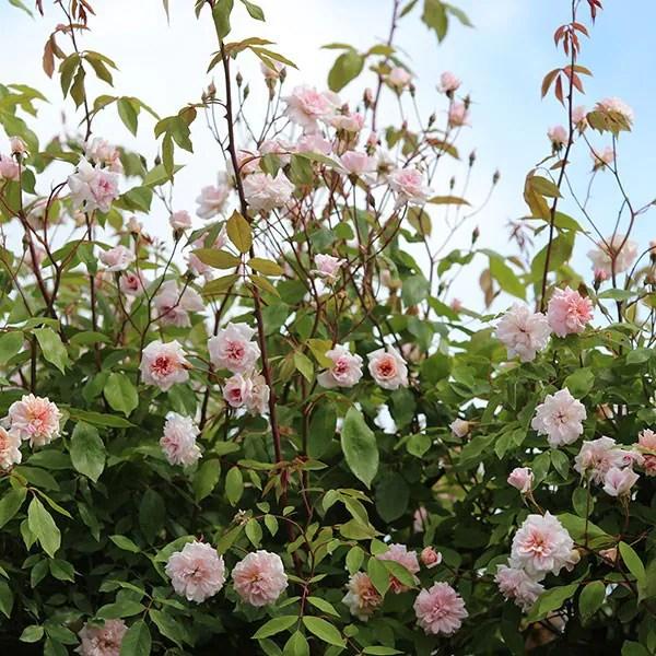 Buy rose Cecile Brunner climbing polyantha Rosa Climbing