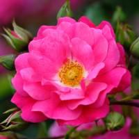 Buy rose Pink Flower Carpet (ground cover rose) Rosa 'Pink ...