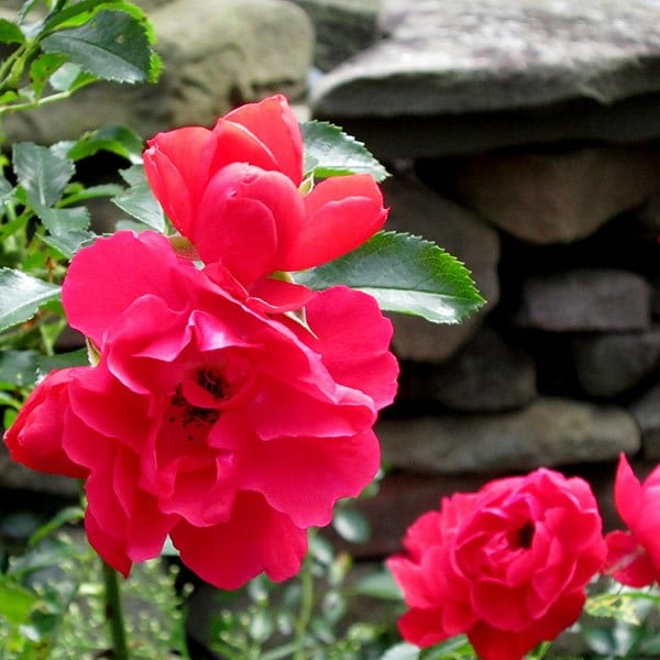 Buy rose Flower Carpet Scarlet (ground cover rose) Rosa