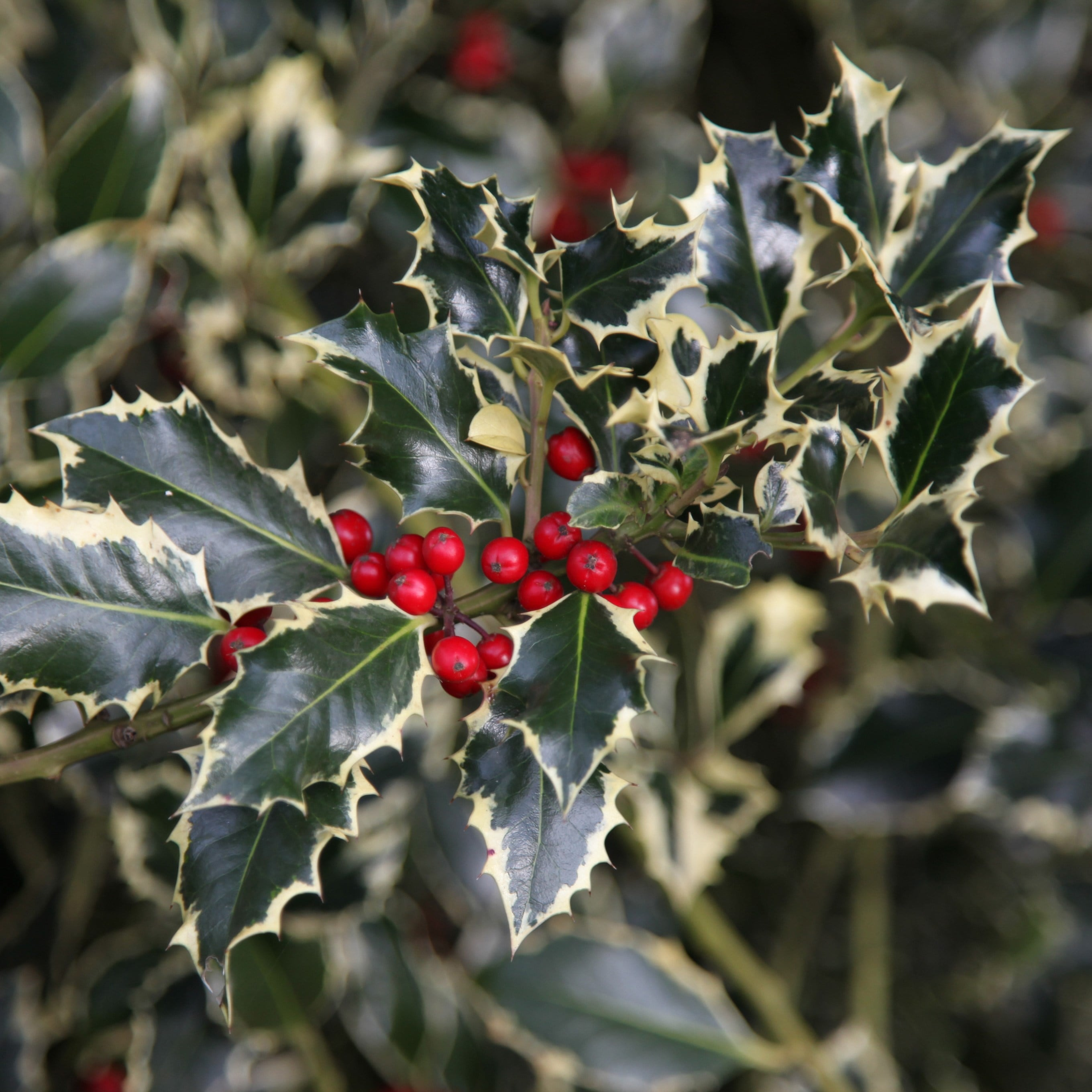 Buy Broad Leaved Silver Holly Female Ilex Aquifolium