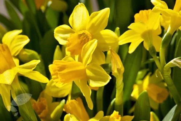 Buy daffodil bulbs Narcissus cyclamineus Tete a Tete 2