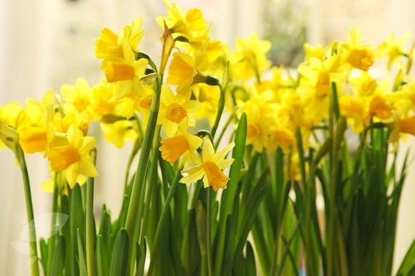 Buy miscellaneous daffodil bulbs Narcissus Tete a Tete 2