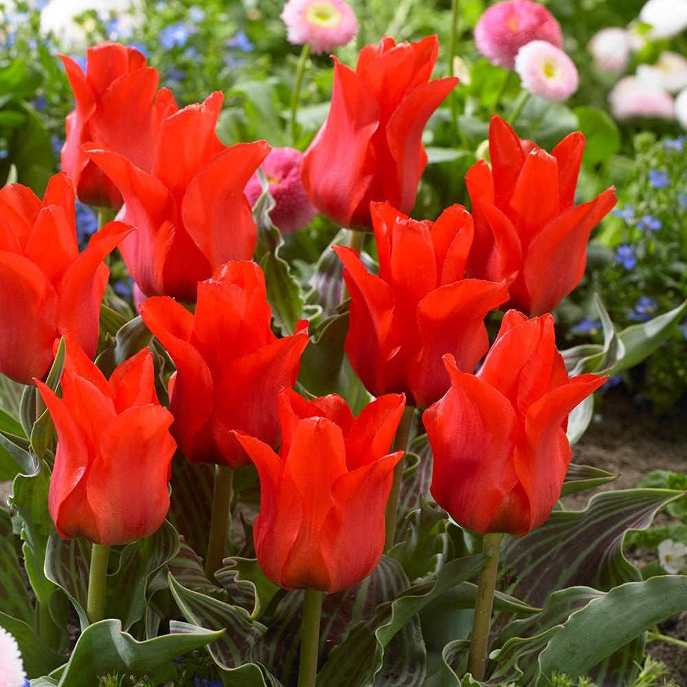 Greigii Tulip Bulbs Tulipa Red Riding Hood 3.99