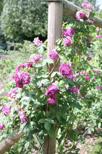 Buy rose Reine des Violettes hybrid perpetual Rosa Reine