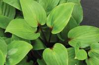 Buy plantain lily Hosta 'Purple Heart': Delivery by ...