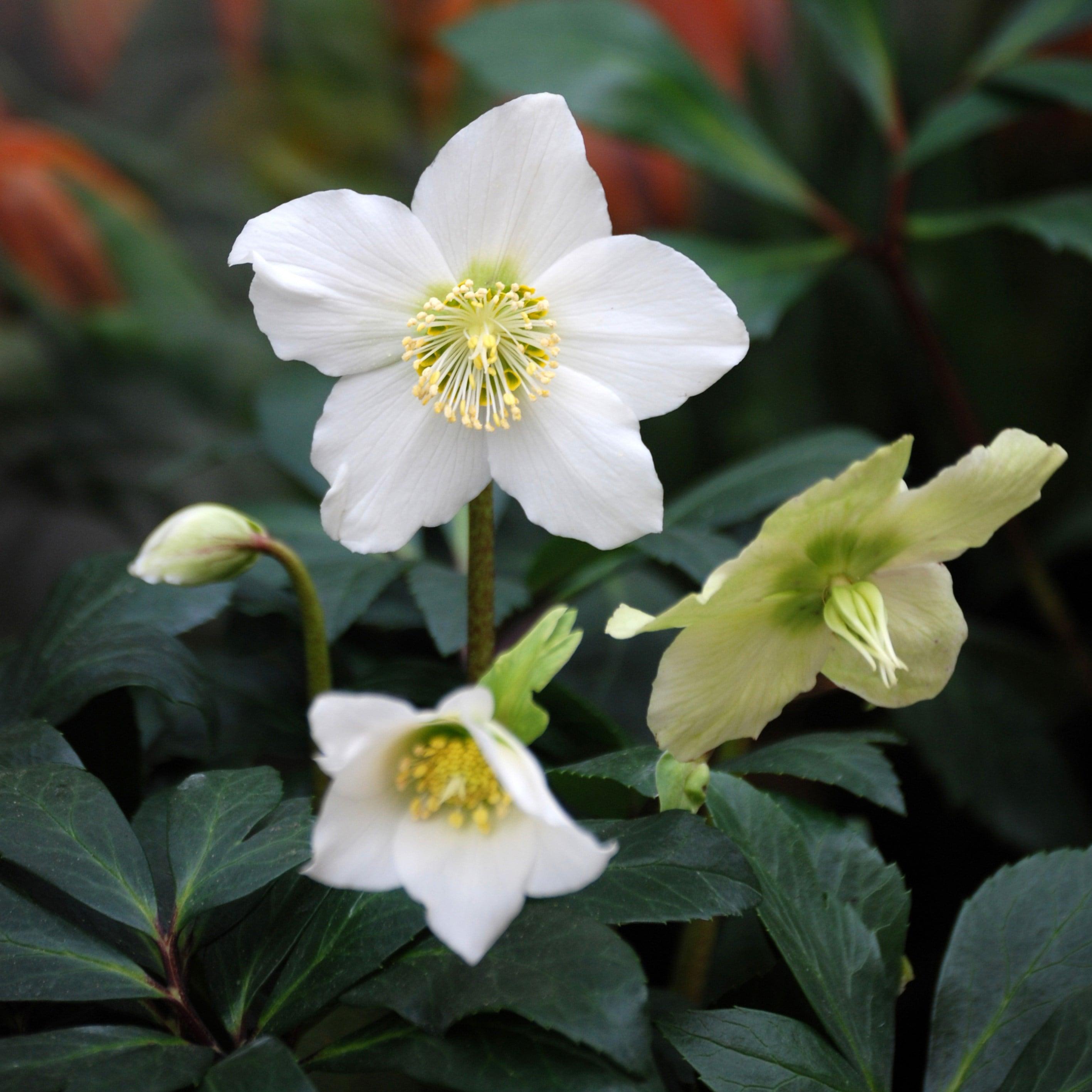 helleborus christmas rose plants