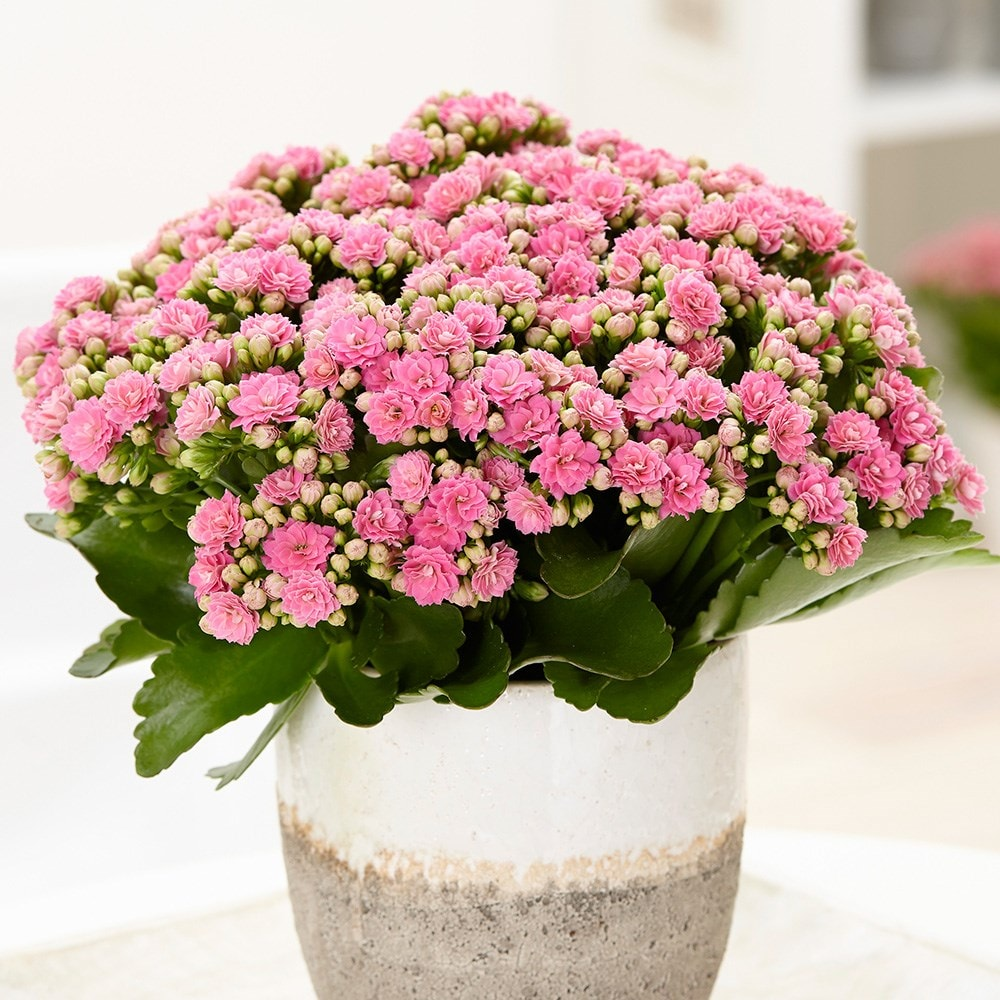Buy Pink Flaming Katy Kalanchoe Blossfeldiana Don Nando Pbr 9 99 Delivery By Crocus