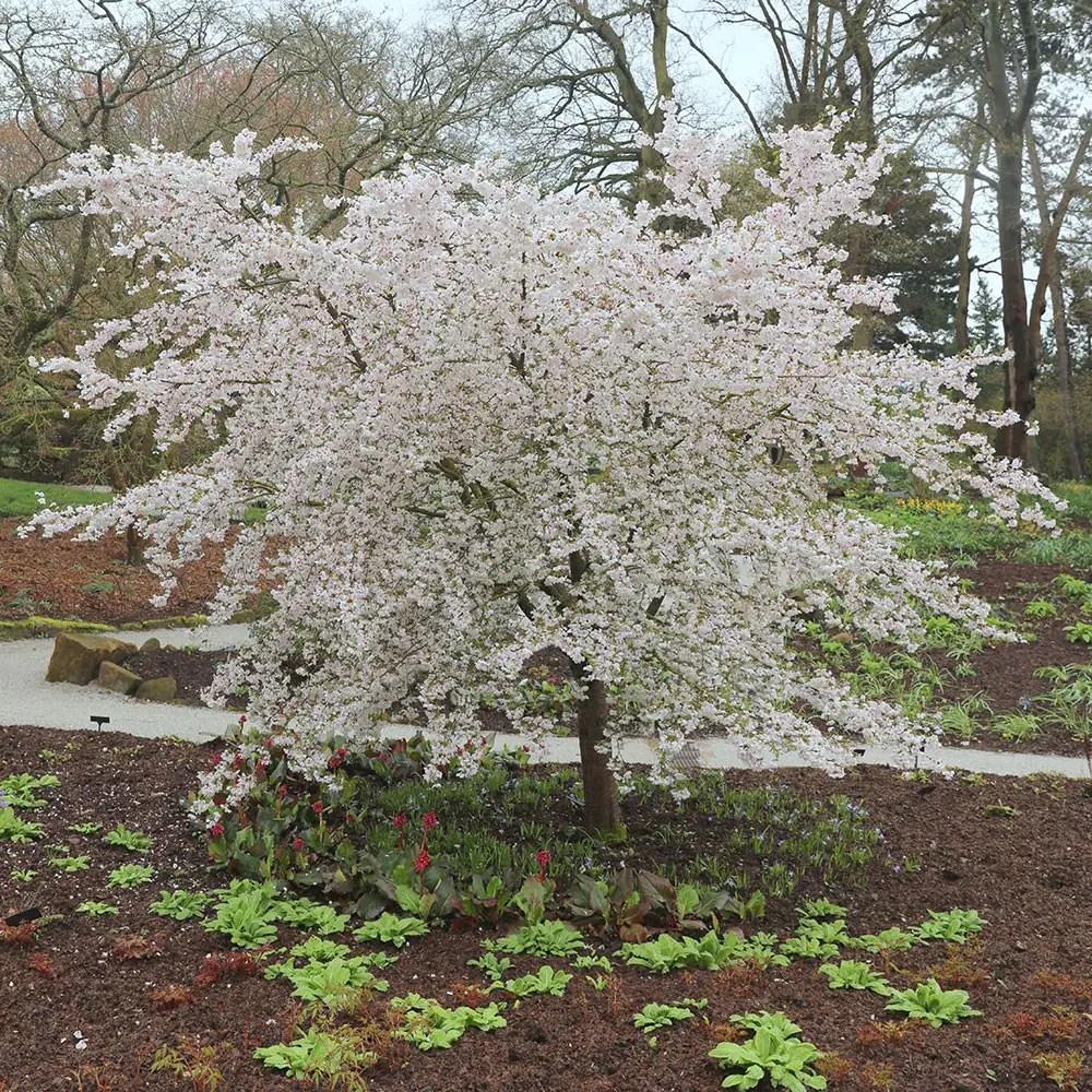 small ornamental cherry tree