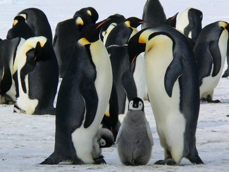 Por qué el egoísmo humano está matando a miles de crías de pingüinos emperador al año 1