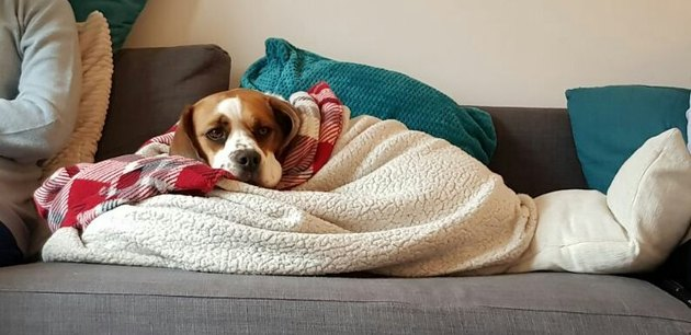 boxer dog sleeps under blanket on couch