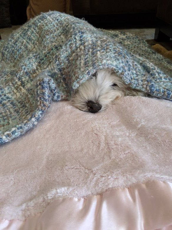 white dog sleeping under blanket