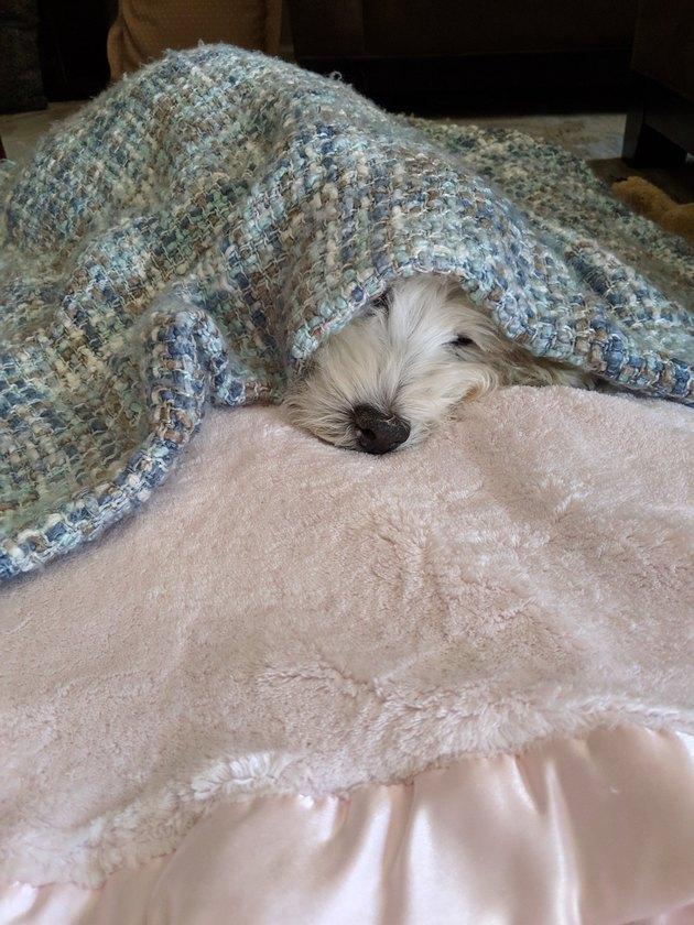 white dog sleeping under blanket