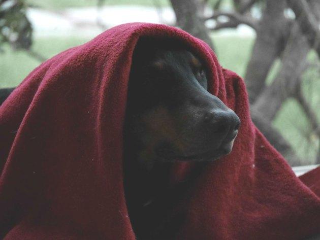 Dog cloaked in blanket like Jedi