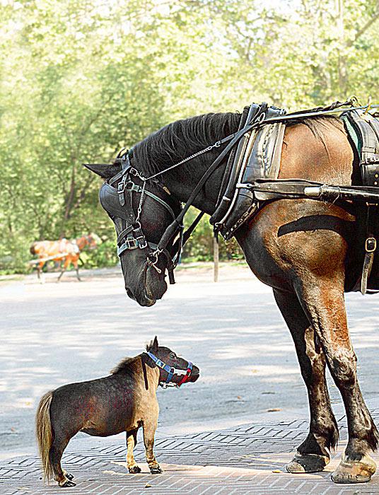 A mini-me horse