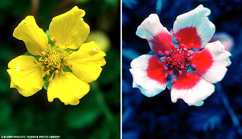 ultraviolet flower