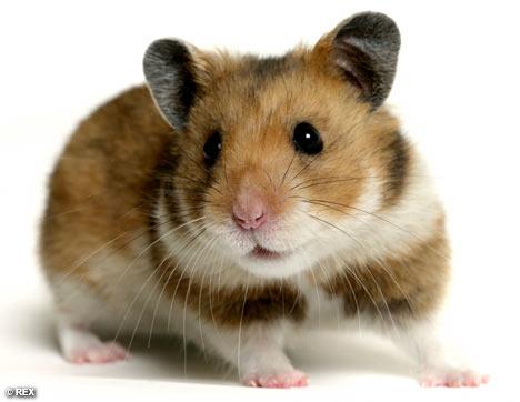 Hamster (c) REX