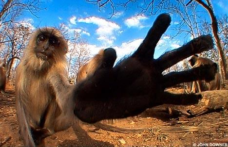langur monkey jungle