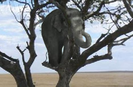 Image result for elephant in a tree